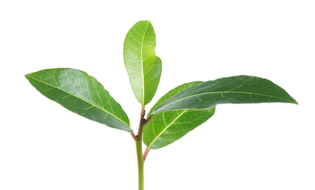 Bay leaves isolated