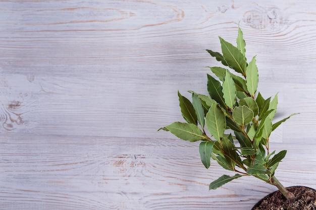 白い木製の背景のコピースペースにベイトレア