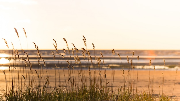 Beach dry grass, reeds, stalks blowing in the wind at golden sunset light, blurred sea on background