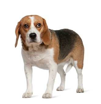 Beagle, 3 years old, standing in front of white wall