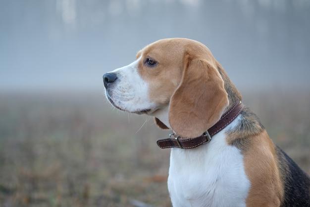 Бигль бигль на прогулке в лесу весенним утром в густом тумане на рассвете на прогулке в тумане