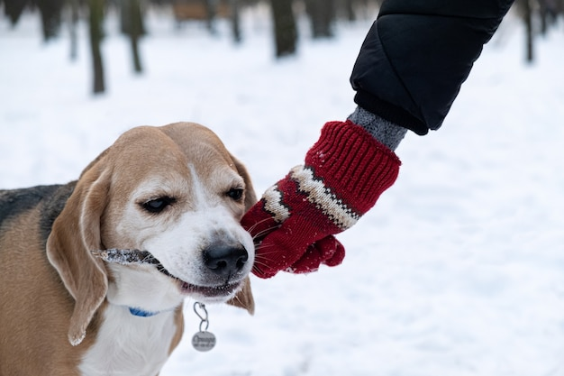 눈 덮인 겨울 공원에서 주인과 놀고있는 막대기를 물고있는 비글