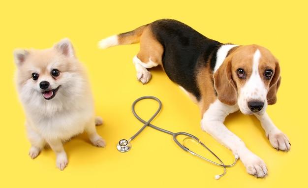 Бигл и поморская собака со стетоскопом в качестве ветеринарного врача