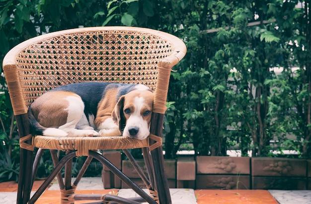 Бигл собака сидит на стуле ротанга. глядя на камеру