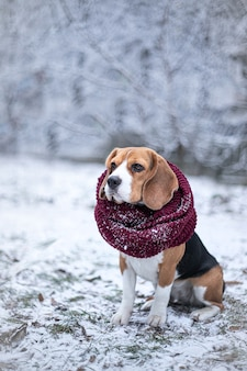 Beagle dog in black fur earflaps sits in winter park