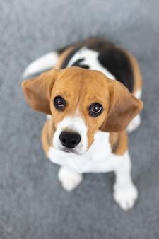 ビーグル犬のクッキー、自宅での舌犬、ペットの愛、狩猟犬のトレーニング、飼い犬に優しいグルーミング、ペットのグルーミング
