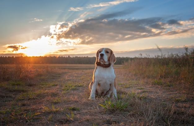 夜明けの早朝に歩きながらビーグル犬