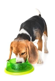 Бигль собака ест, изолированные на белом фоне