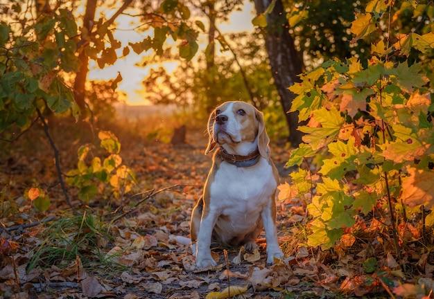 일몰 저녁에 아름다운 가을 공원에서 비글 개