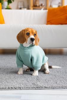 Бигль в мятной одежде сидит в гостиной, собака ждет хозяина, играет с домашним животным, домашняя собака