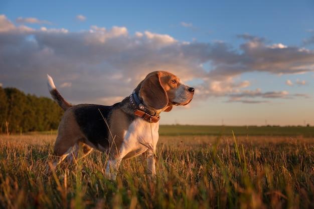 여름에 산책하는 동안 일몰의 황금 광선에 비글 개