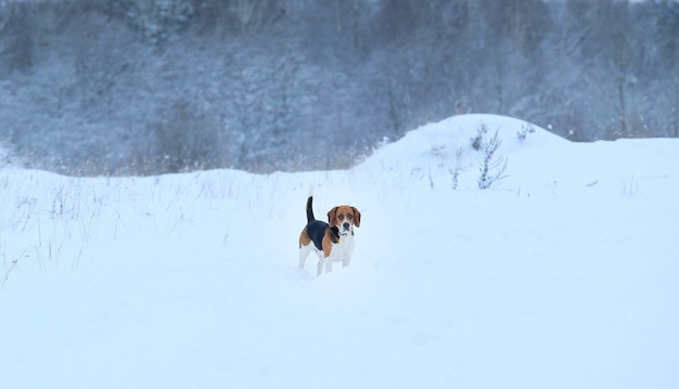 冬に立っているビーグル犬