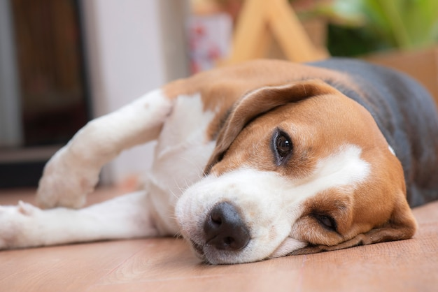 Beagle dog is sleeping and looked with a pleasant sight