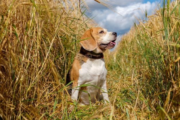 Бигль на золотом пшеничном поле