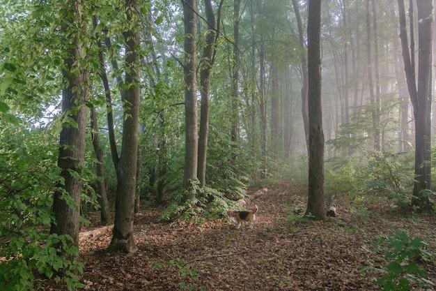 夏の公園を散歩しているビーグル犬。木々の間の朝の霧と日光