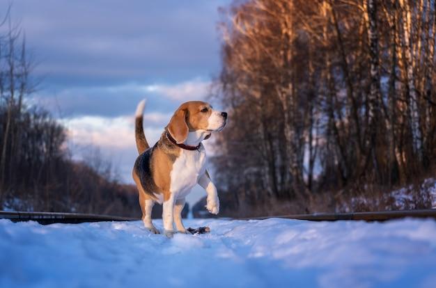 晴れた冬の日の散歩にビーグル犬