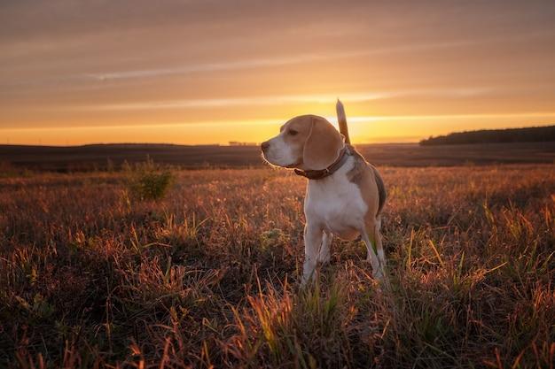 자연 속에서 산책하는 동안 아름다운 가을 석양에 비글 개