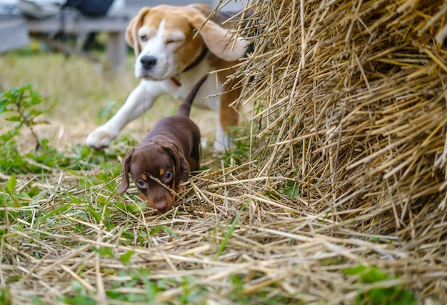ビーグル犬はかわいいダックスフントの子犬と遊ぶ