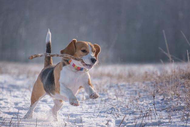 ビーグル犬は晴れた凍るような日に冬の森で走って遊んでいます