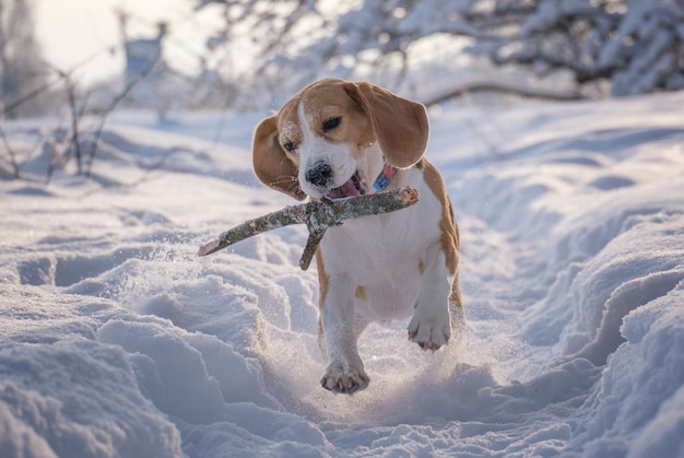 Beagle dog runs and plays in a beautiful fairy-tale snow-covered park in winter