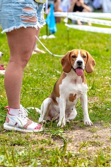 A beagle dog sits on the grass next to his mistress