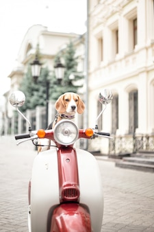 Beagle dog sits on a retro moped against the background of a city street