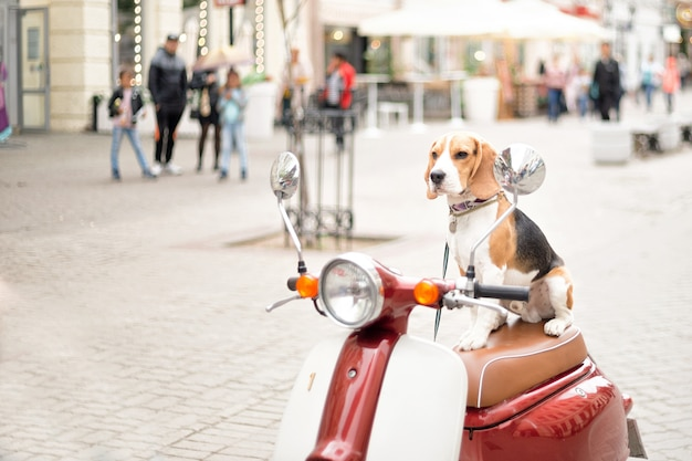 Beagle dog sits on a retro scooter against the background of a city street