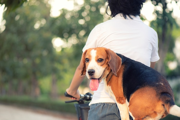 Beagle dog sits on a saddle behind a bicycle