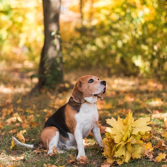 Beagle dog sitting in forest