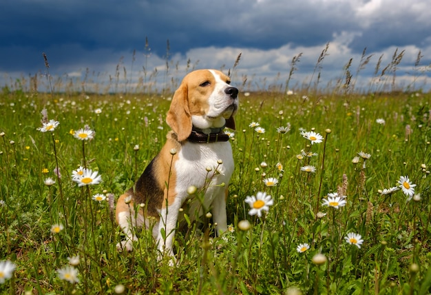 Beagle dog sitting in a meadow with daisies on a sunny summer day