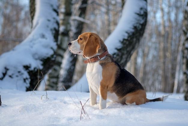 晴れた冬の日に雪に覆われた冬の森を歩くビーグル犬