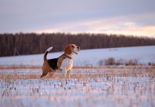 겨울 저녁 석양에 산책하는 비글 개