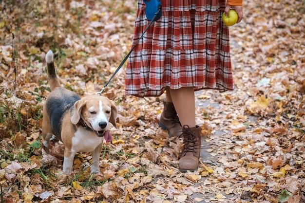 젊은 여자와 함께 가을 공원에서 가죽 끈에 걷는 비글 개