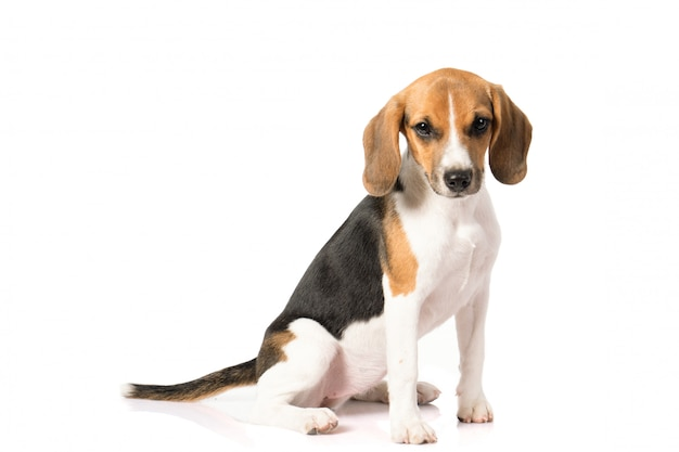 Beagle dog on white