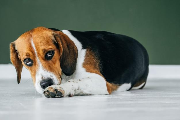 노란 고리를 가진 비글 개는 흰색 나무 바닥에 앉아 있습니다. 삼색 개는 슬퍼 보인다.