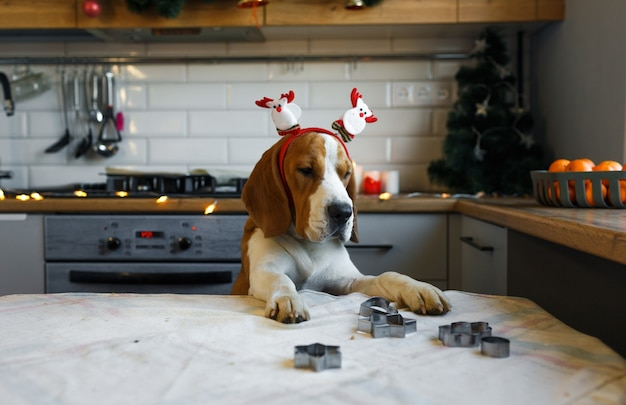 A beagle dog with christmas decorations on its head stands on its hind legs in the kitchen waiting for a treat. christmas for pets