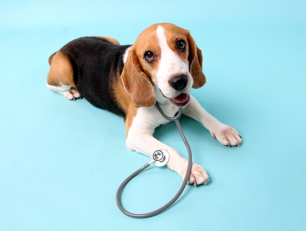 Beagle dog with stethoscope as veterinarian