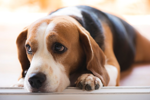 Beagle dogs are looking with poor eyesight