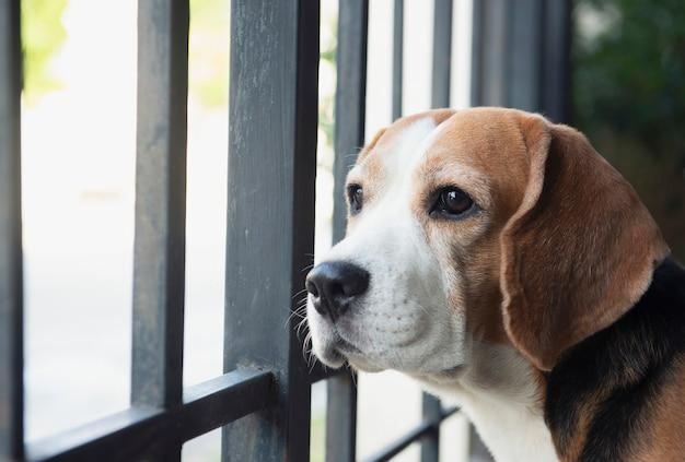 비글 개는 울타리 밖에서 흥미로워 보입니다.