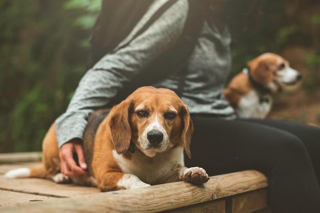 Собаки породы бигль отдыхают со своим хозяином в позитивном настроении.
