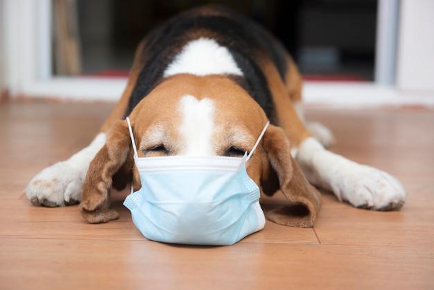 수술 보호 마스크를 착용하는 비글 개. 코로나 바이러스 감염 예방 개념 covid-19 발생 및 격리 기간 동안 개 보행기를위한 조언