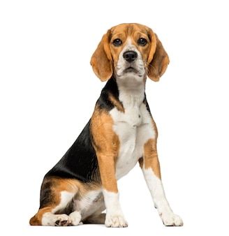 Beagle in front of a white wall