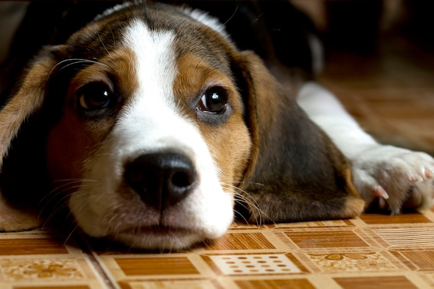 Beagle (hound) puppy lying on the floor