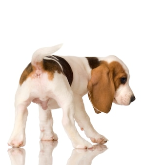 Бигль, изолированные на белом щенка