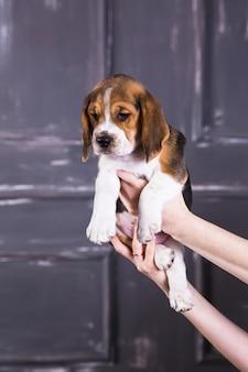 Beagle puppy in hands