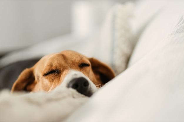 Бигль спит на диване
