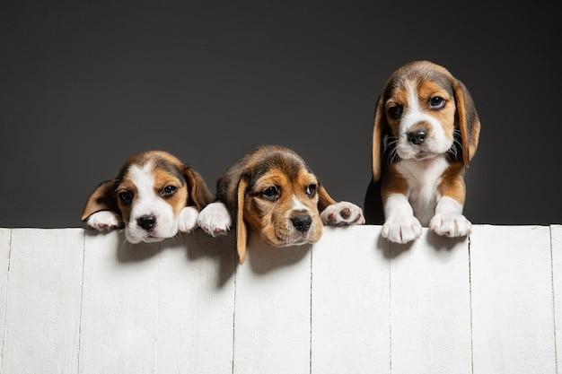 Позируют щенки трехцветного бигля. симпатичные бело-коричнево-черные собачки или домашние животные, играющие на сером фоне. выгляди внимательным и игривым. студийная фотосессия. понятие движения, движения, действия. негативное пространство.