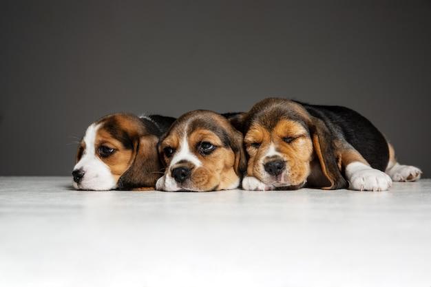 ビーグル犬のトリコロールの子犬がポーズをとっています。灰色の壁で遊ぶかわいい白ブラウン黒の犬やペット。注意深く遊び心のある顔をしてください。動き、動き、行動の概念。ネガティブスペース。