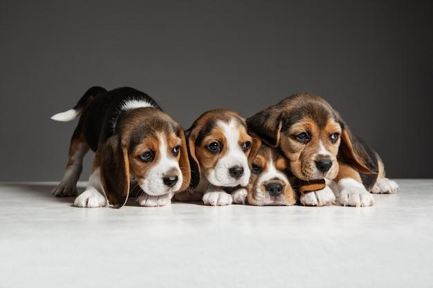 비글 3 색 강아지가 포즈를 취하고 있습니다. 귀여운 흰색-갈색-검은 색 강아지 또는 회색 벽에서 노는 애완 동물. 주의를 기울이고 장난스러워 보이며 동작, 움직임, 행동의 개념입니다. 부정적인 공간.