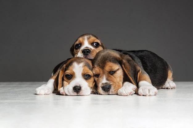 비글 3 색 강아지가 포즈를 취하고 있습니다. 귀여운 흰색-갈색-검은 색 강아지 또는 회색 벽에서 노는 애완 동물. 주의를 기울이고 장난스러워 보입니다. 움직임, 움직임, 행동의 개념. 부정적인 공간.